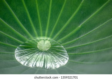 Closeup of water droplets on lotus leaf