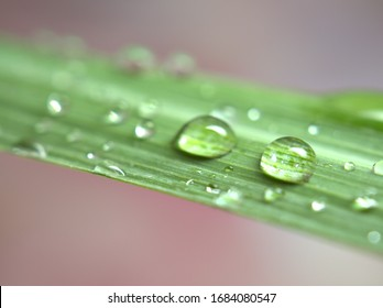Closeup water drops on green lemongrass leaf with pink light blurred background ,macro image ,sweet color for card design, dew on nature leaves