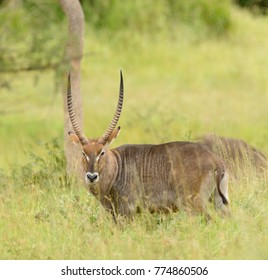 "Closeup of Waterbuck (scientific name: Kobus ellipsiprymnus, or ""Kuru"" in Swaheli) in the Serengeti National park, Tanzania"