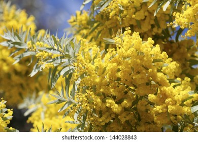 Closeup of wattle in Australia
