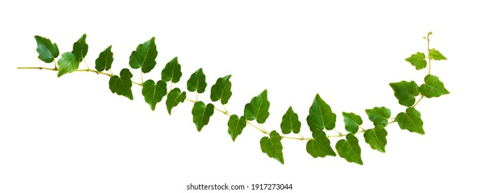 Closeup of waved ivy twig with small green leaves isolated on white