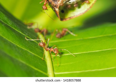 Close-up Weaver ant (Oecophylla smaragdina) or Green Ant major worker guarding the nest with green nature blurred background.