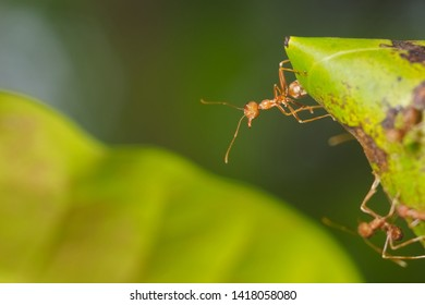 Close-up a Weaver ant (Oecophylla smaragdina) or Green Ant major worker guarding the nest with green nature blurred background.