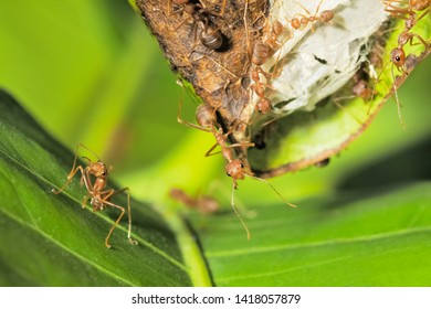 Close-up Weaver ants (Oecophylla smaragdina) or Green Ants major worker guarding on the nest.