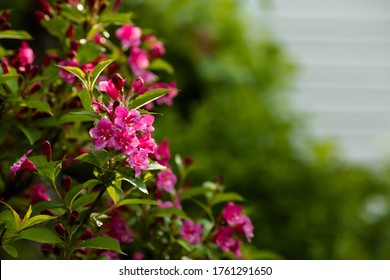 Close-up of weigela's pink flowers. Bright pink flowers of weigela in summer. Large flowers and buds on a green background. Copy the space for the text.