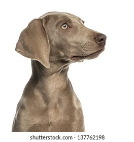 Close-up of a Weimaraner puppy profile, 2,5 months old, isolated on white
