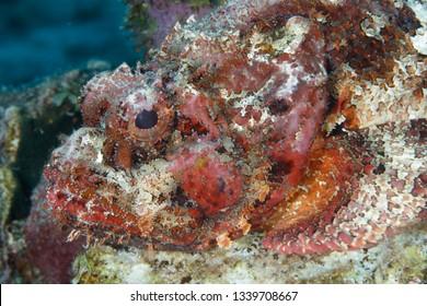 Closeup of a well camouflaged Spotted Scorpionfish (Scorpaena plumieri) waits to ambush a passing fish - Bonaire