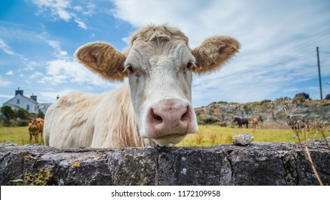 Close-up of a Welsh white cow on Anglesey island in North Wales, Uk