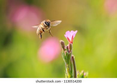 Closeup of a western honey bee or European honey bee (Apis mellifera) feeding nectar of pink flowers