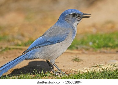 Closeup of Western Scrub Jay (Aphelocoma californica) in Kodachrome Basin State Park, Utah
