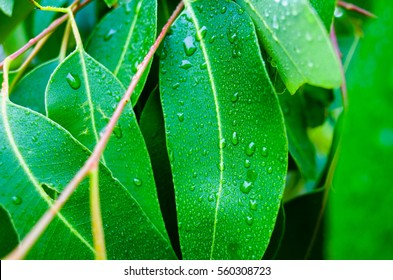 Closeup of wet Eucalyptus leaves. Young fresh eucalyptus leaves on a rainy day.