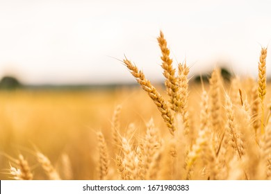 Close-up of wheat ears against a wheat field