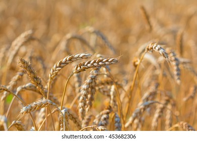 closeup wheat field background