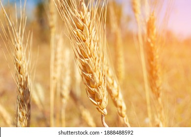 Closeup wheat field in harvest season with sunlight