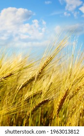 Closeup of wheat field with sunny blue sky