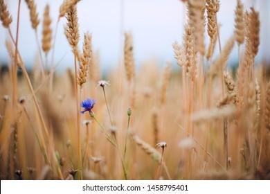 Closeup of a wheatfield with a blue cornfield flower.