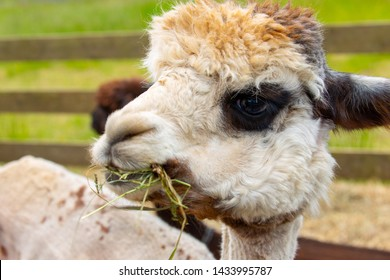 A closeup of a white alpaca with dark eyes chewing grass and hay