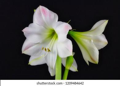 Close-up of white amaryllis flower on the black background. Macro photography of nature.
