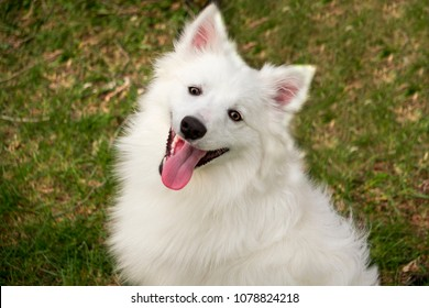 closeup white american eskimo dog is smiling