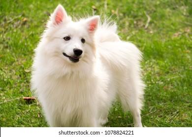 closeup white american eskimo dog standing
