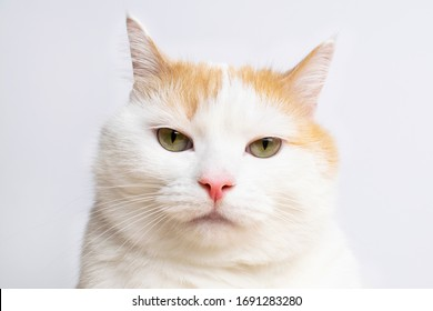Closeup white angry cat looking at camera. Funny cat emotions.