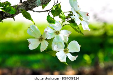 Close-up of white apple blossoms.
