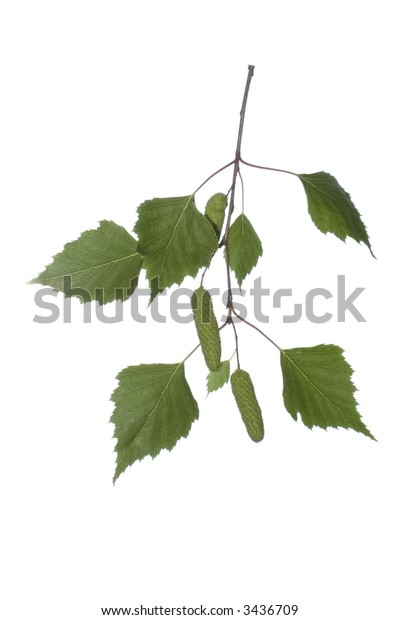 close-up of white birch branch on white