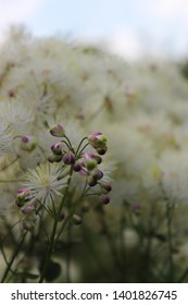 Closeup of white blooming Thalictrum aquilegiifolium flower, also known as Siberian columbine, French meadow-rue and columbine meadow-rue