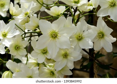 Closeup of the white blooms of Clematis Avalanche.