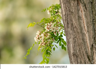Closeup of white blossoms of a black locust and trunk in spring