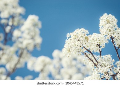 Closeup of white Bradford pear tree blossoms in spring. Beautiful blue sky background.