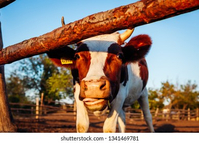 Close-up of white and brown cow on farm yard at sunset. Cattle walking outdoors in summer countryside and chewing grasss
