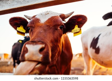 Close-up of white and brown cow showing tongue on farm yard at sunset. Cattle walking outdoors in summer