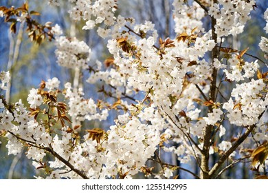 A closeup of white cherry blossom flowers on a sunny spring day in the UK.