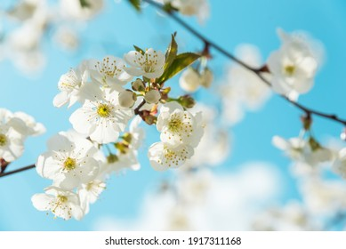Close-up  white cherry blossom sakura in spring time against blue sky. Nature background. Soft focus