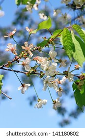 closeup of white cherry flowers up in the tree in spring