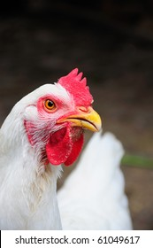 Close-up of white chicken looking at camera