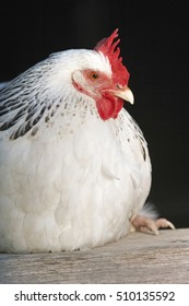 Closeup of a white chicken sitting on plank