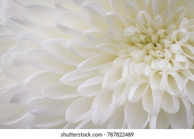 closeup of white Chrysant flower with top right center