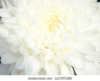 Closeup white chrysanthemum flower blooming  in the garden in the morning.