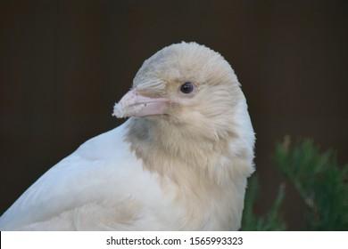 A close-up of a white crow