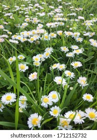 Close-up white daisies on a green grass background. Springtime theme.