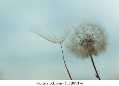 Closeup white dandelion against the blue sky