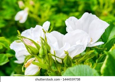 Rose-flavor Images, Stock Photos & Vectors   Shutterstock