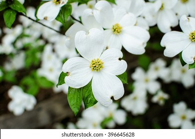 Closeup of white dogwood flowers in spring