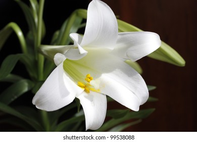 Closeup of white Easter lily.