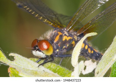 Close-up of white face and large brown orange black eye of Adult Lilypad whiteface darter Leucorrhinia caudalis taken from the side on eye level