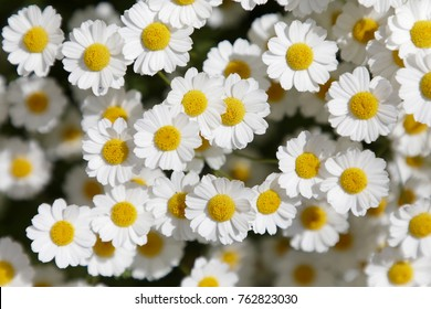 Closeup of white Feverfew flowers