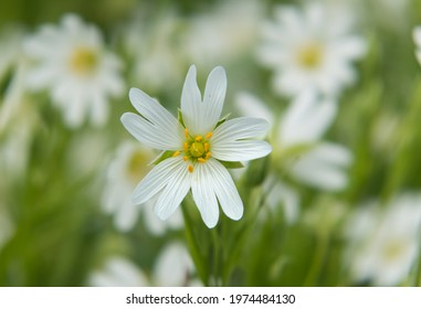 Close-up of the white flower of Mouse-ear chickweed, also known as Starweed