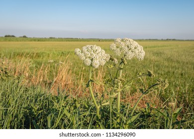 Closeup of a white flowering hogweed plant on the edge of a meadow. A bee hovers in the air to land on the flower head. It is a warm evening in the summer season.